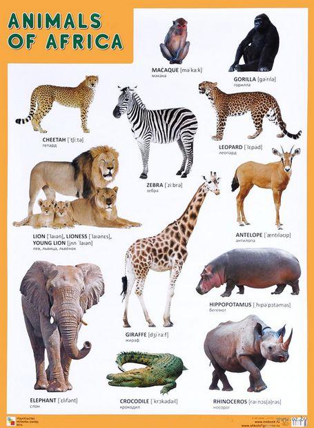 Animals of Africa. Плакат — фото, картинка