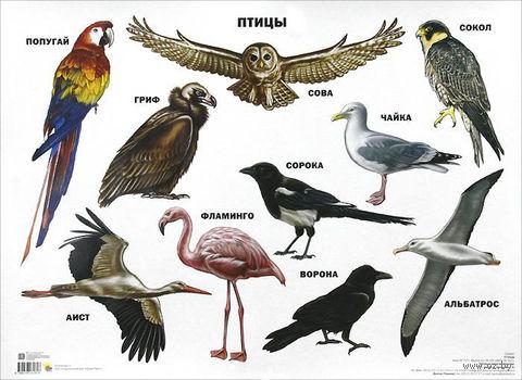 Птицы. Плакат — фото, картинка