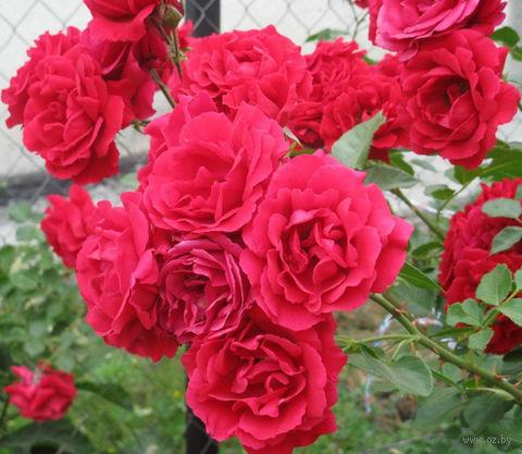 Роза симпатия плетистая