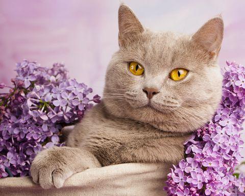 "Алмазная вышивка-мозаика ""Кот в сирени"" (300х400 мм) — фото, картинка"